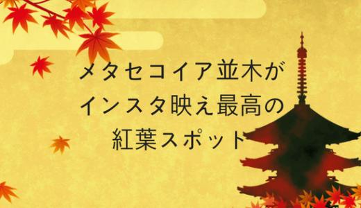 【滋賀県】メタセコイア並木がインスタ映え最高の紅葉スポットだぞ!