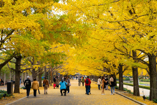 国営昭和記念公園のいちょう並木