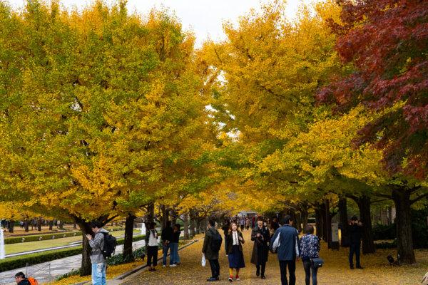 国営昭和記念公園のイチョウ並木