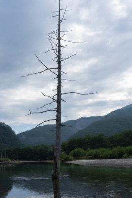 上高地 謎の木